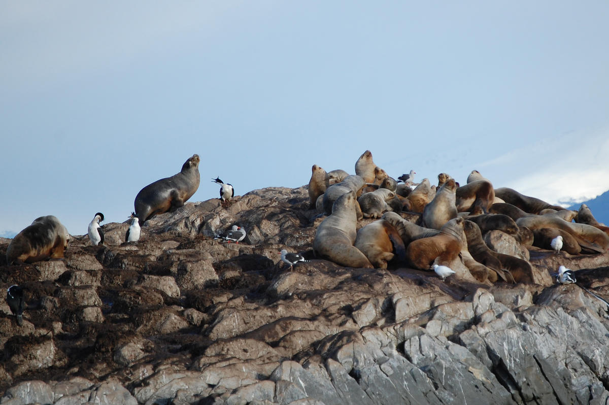 Ushuaia seal colony