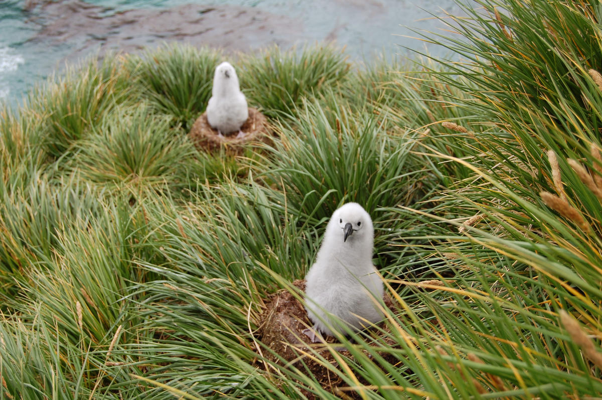 Grey-headed chicks